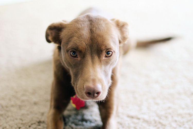 puppy dog pitbull wallpaper