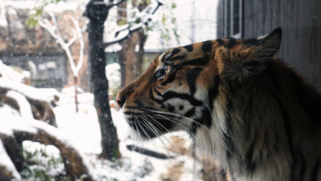 snow leopard wild cat predator muzzle winter snow wallpaper