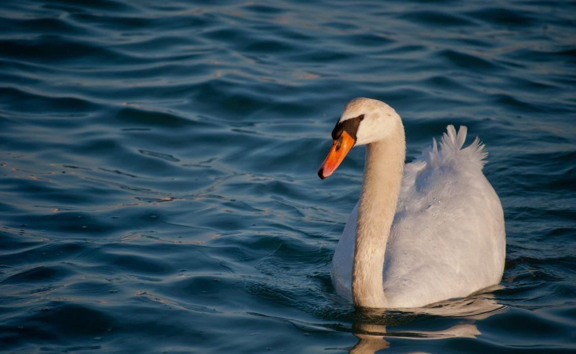 swan white grace water waves   f wallpaper