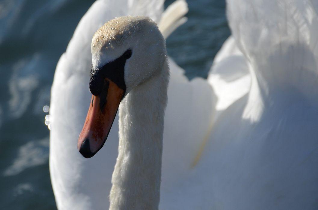 swan white bird head beak wallpaper