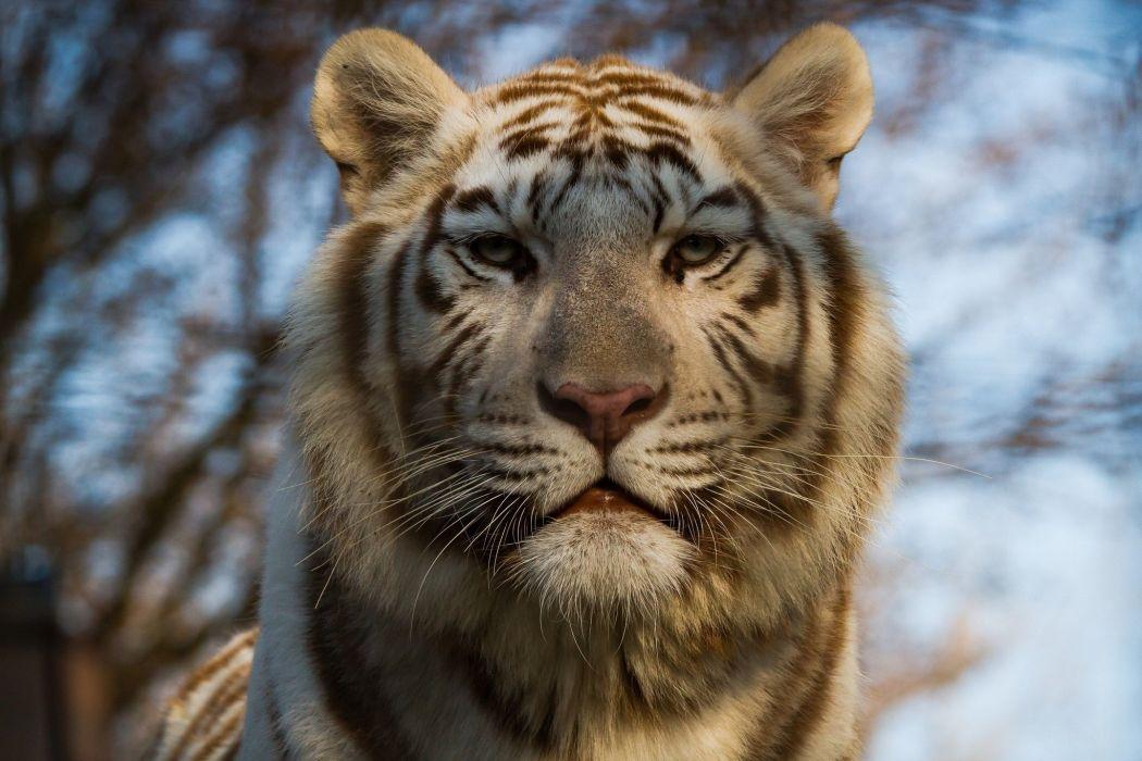 tiger wild cat predator muzzle wallpaper