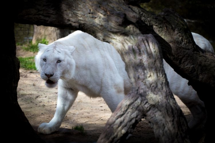 tiger wild cat predator muzzle n wallpaper