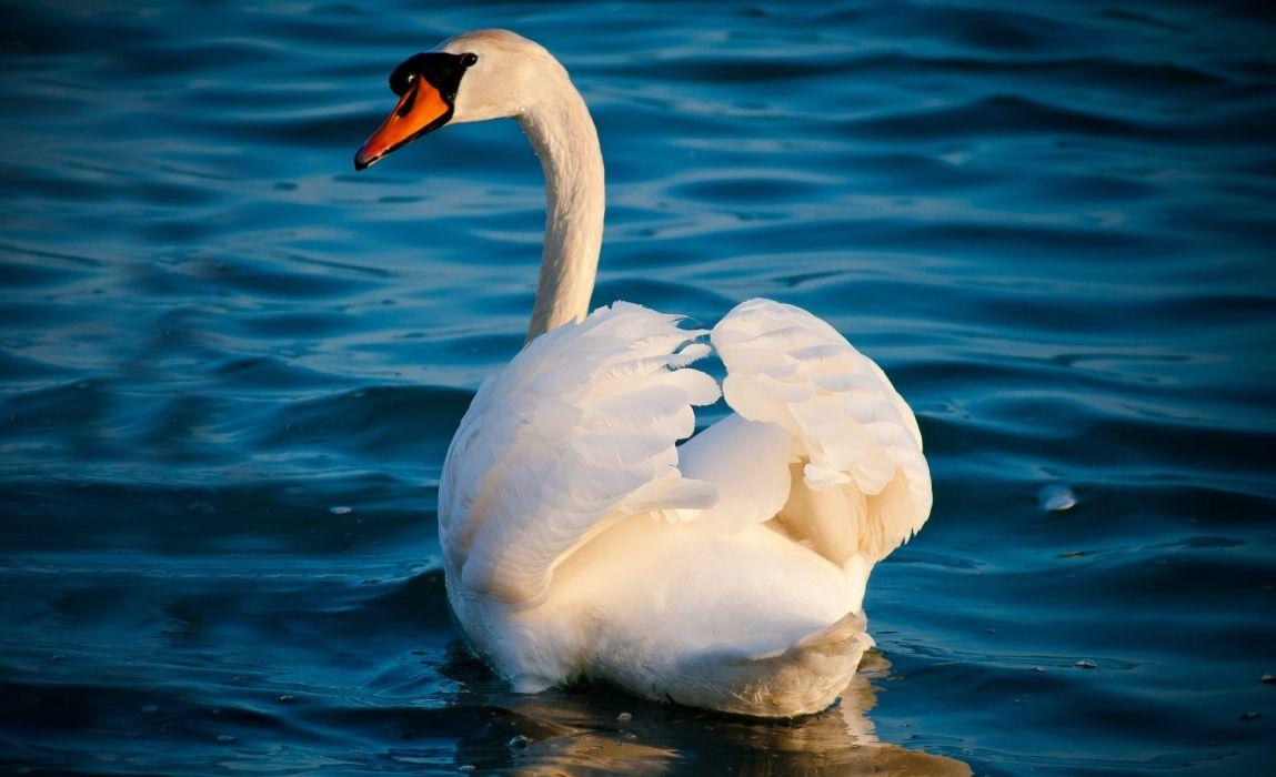swan white grace water waves wallpaper