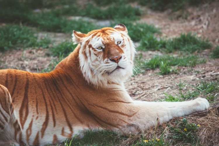 tiger wild cat predator rest wallpaper