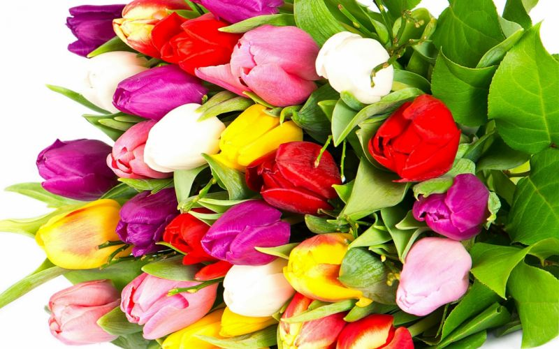 tulips varicoloured red yellow bright bouquet flowers white wallpaper