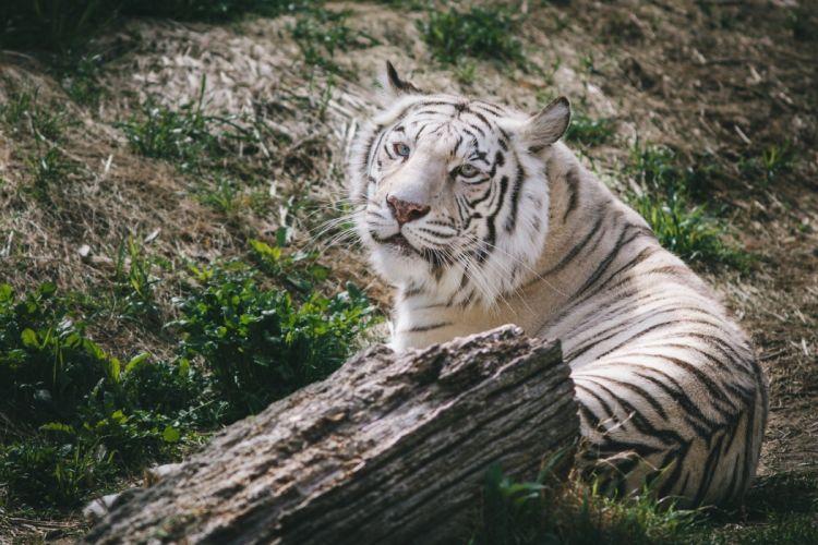 white tiger tiger wild cat predator muzzle wallpaper