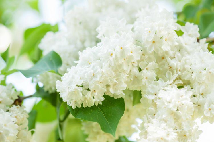 Lilac White Flowers wallpaper