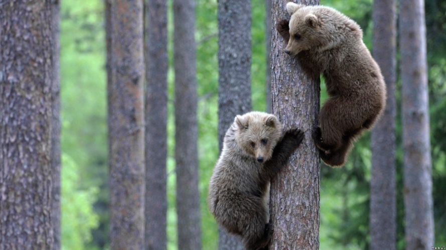 nature trees animals bears wallpaper