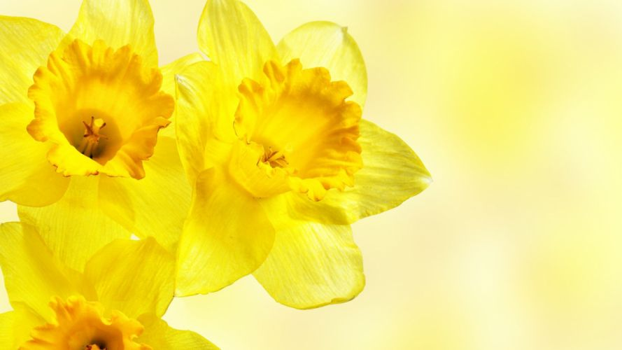 flowers daffodils yellow flowers wallpaper