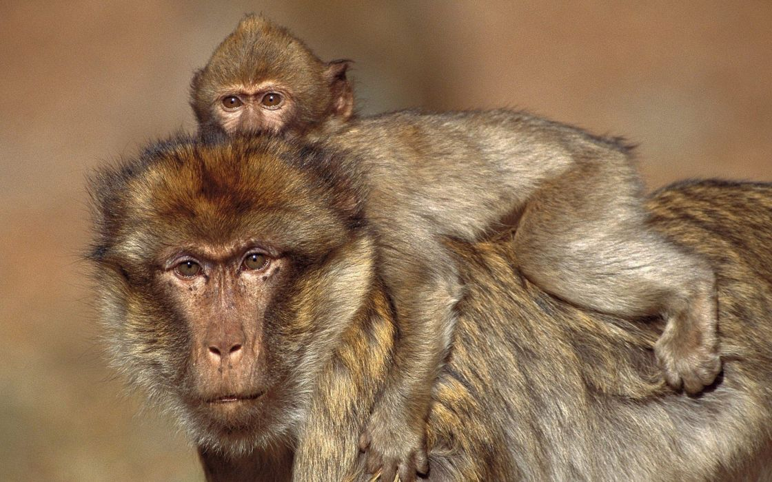 animals monkeys baby animals wallpaper