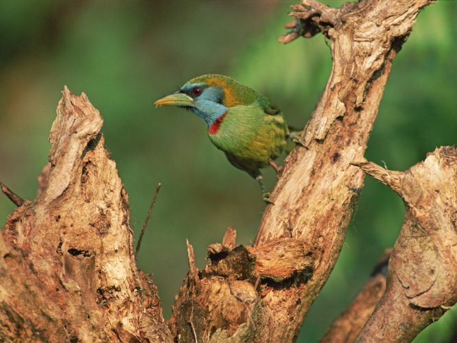 birds Peru branches wallpaper