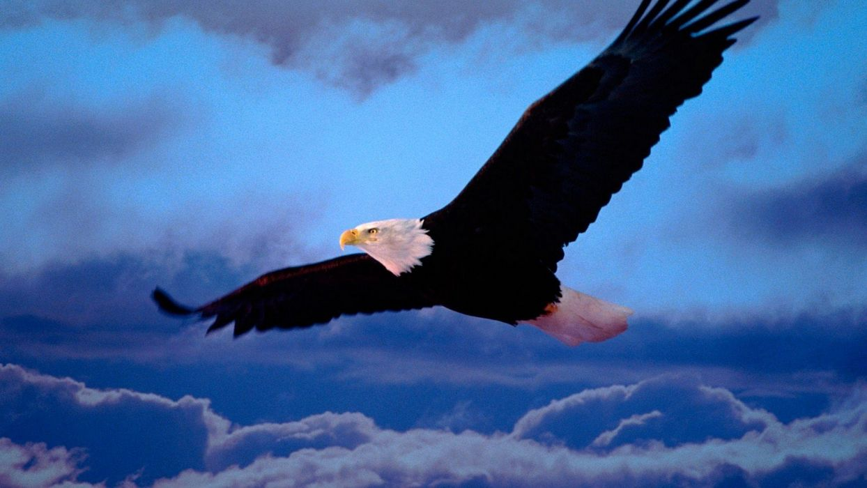 wings freedom bald eagles wallpaper