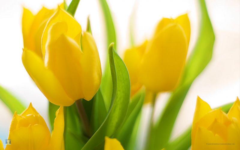 flowers tulips yellow flowers wallpaper