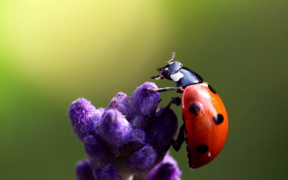 nature flowers insects macro ladybirds wallpaper