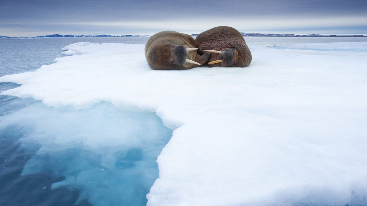 ice Norway sleeping walrus wallpaper