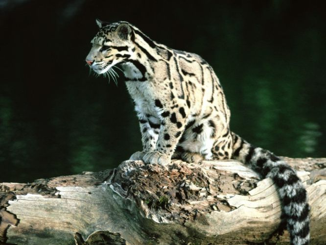 nature animals leopards clouded leopards baby animals wallpaper