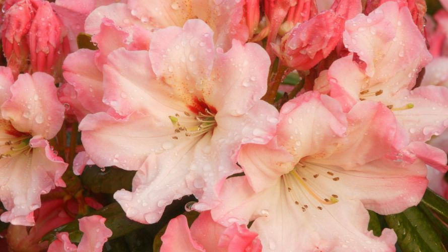 flowers blossoms pink flowers Rhododendron wallpaper