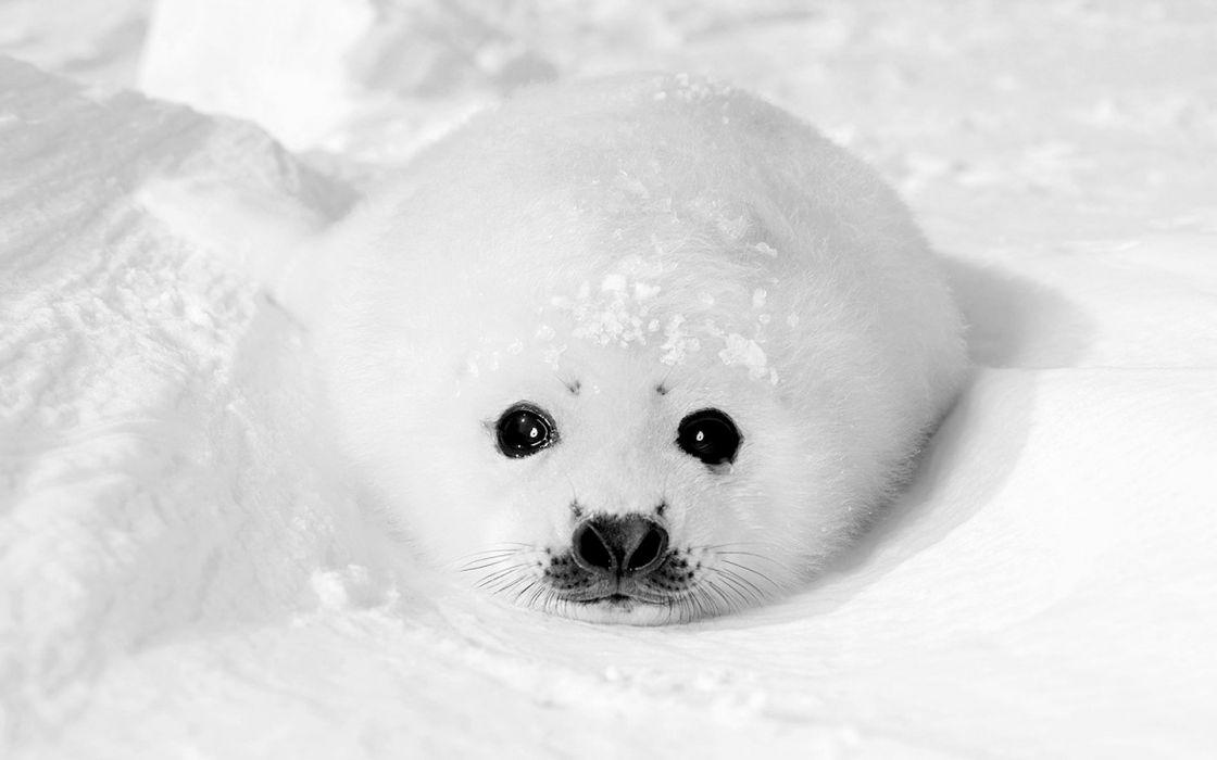 white seals animals wallpaper