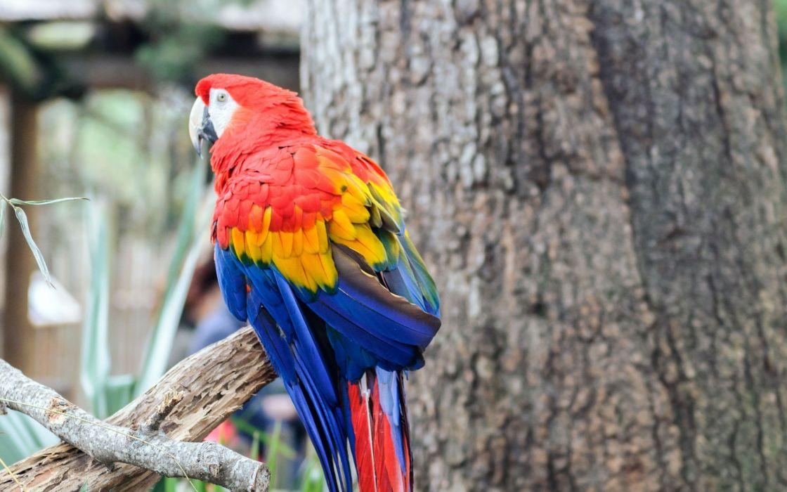birds animals parrots Scarlet Macaws wallpaper