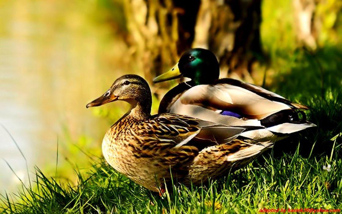birds ducks mallard wallpaper