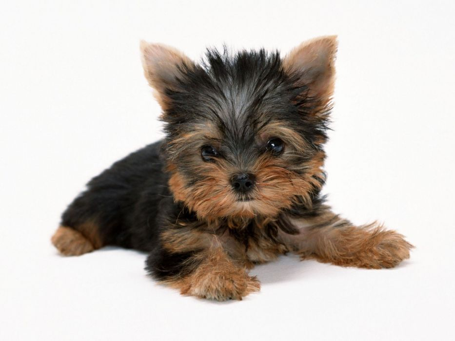 animals dogs puppies Yorkshire Terrier white background wallpaper