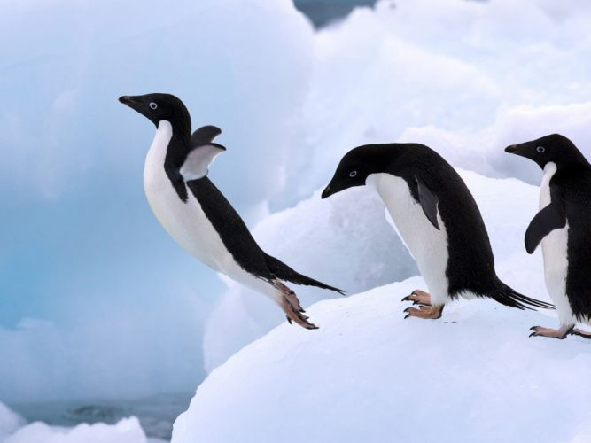 animals penguins wallpaper