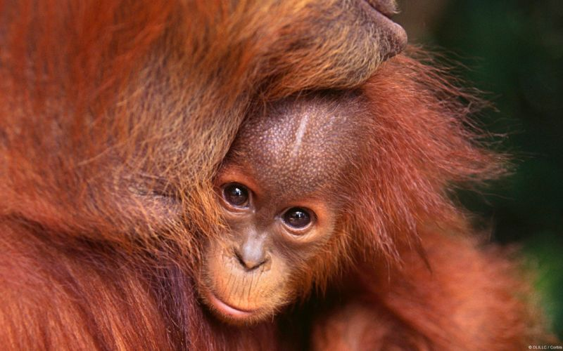 nature animals baby animals orangutans wallpaper