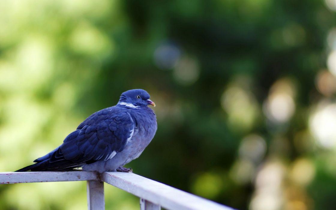 birds doves bokeh wallpaper