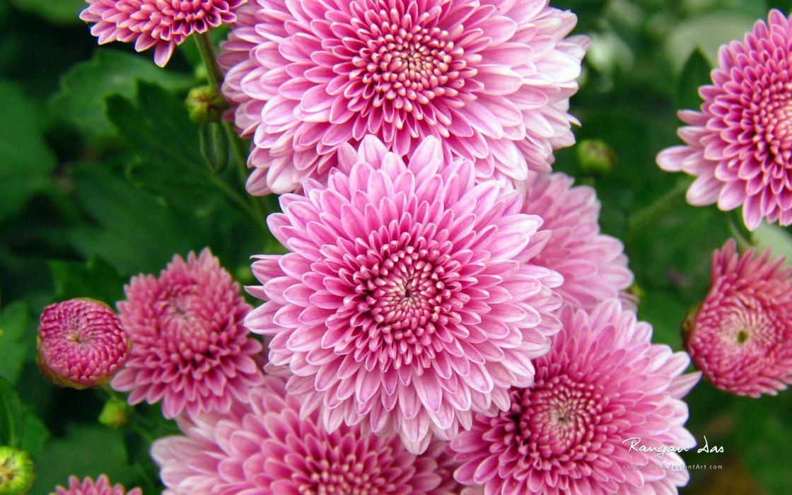 chrysanthemum flowers 4000x2500 wallpaper