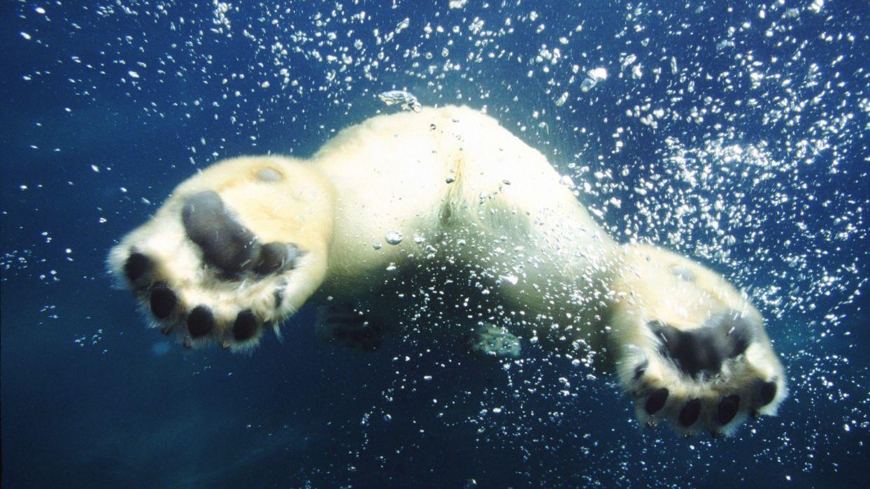 animals bubbles swimming polar bears wallpaper