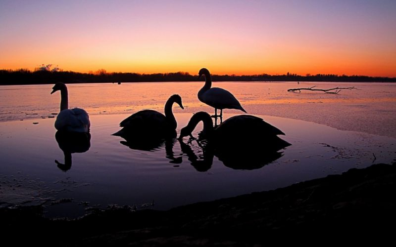 birds animals silhouettes swans lakes wallpaper