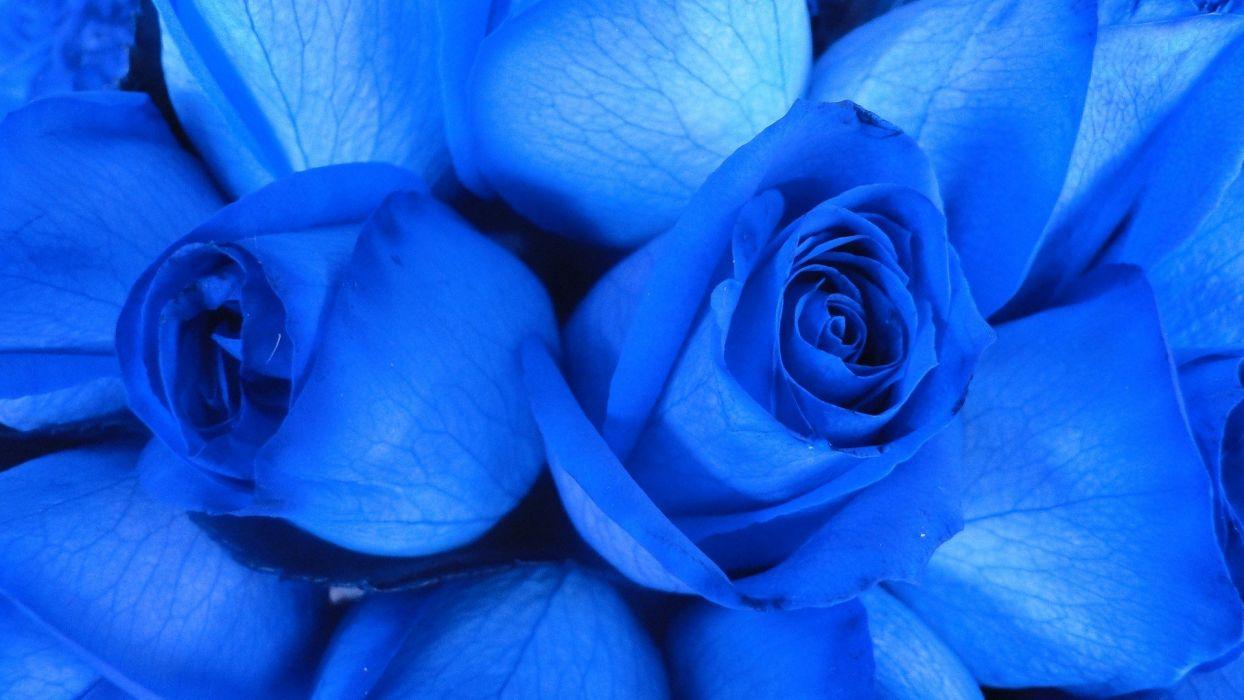 flowers roses Blue Rose wallpaper