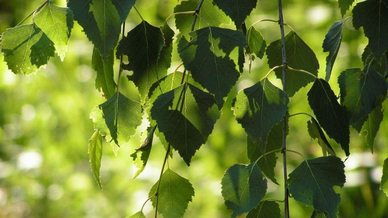 nature trees leaves wallpaper