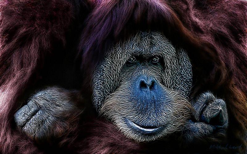 animals apes orangutans wallpaper