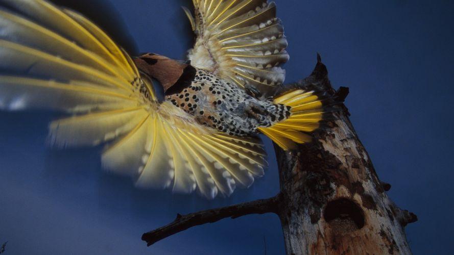 Alaska flight woodpecker wallpaper