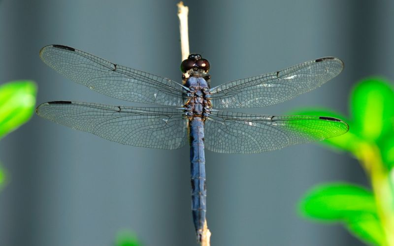 insects dragonflies wallpaper