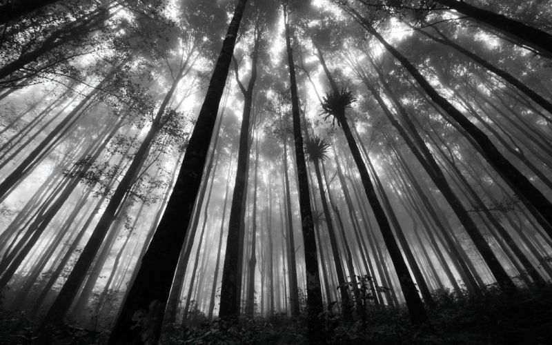 nature forests grayscale monochrome wallpaper