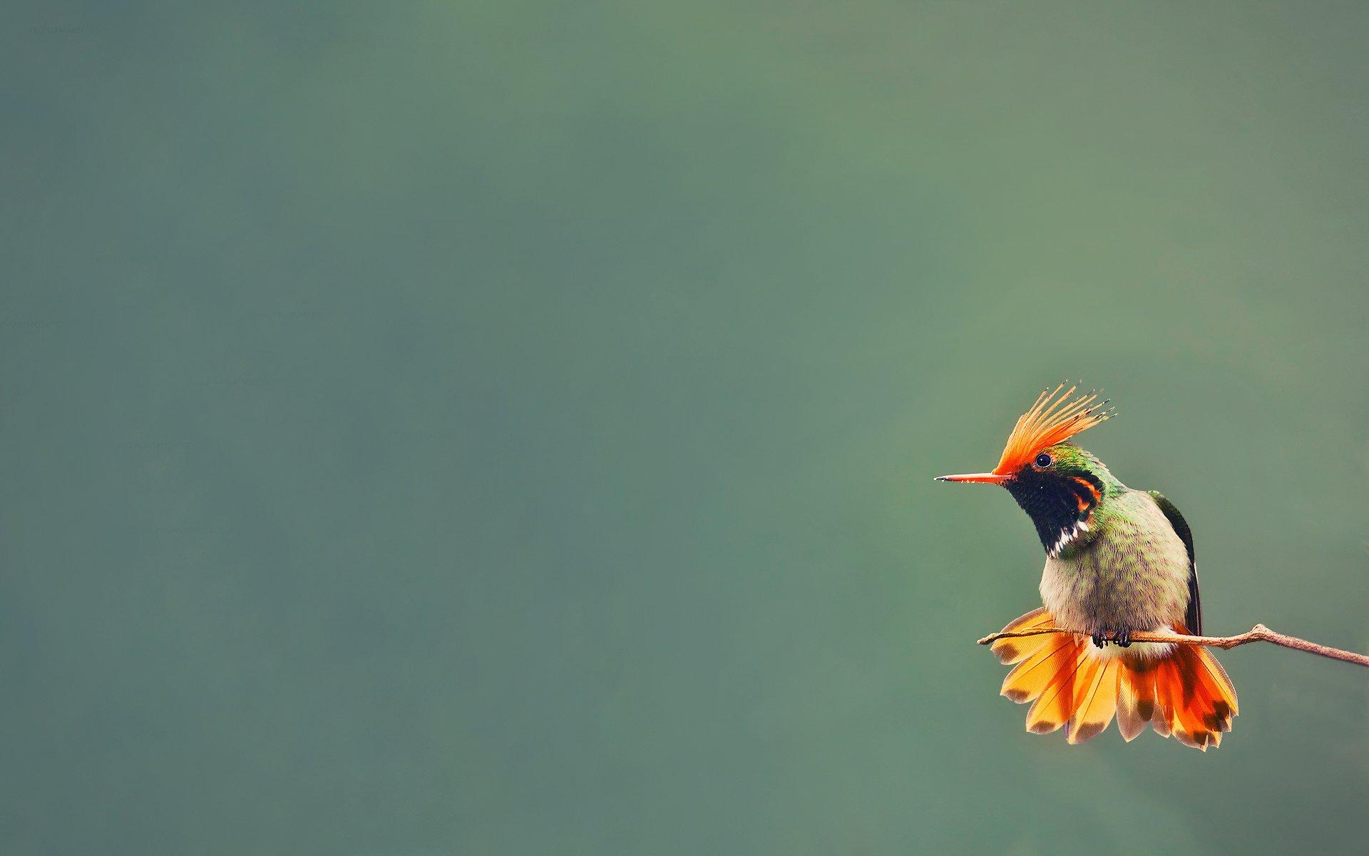 птица природа ветка колибри  № 1994303 бесплатно