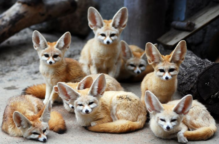 Fenech fennec fox eared animals fox wallpaper