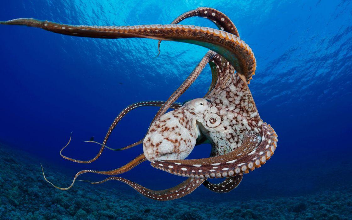 octopus ocean shellfish corals wallpaper