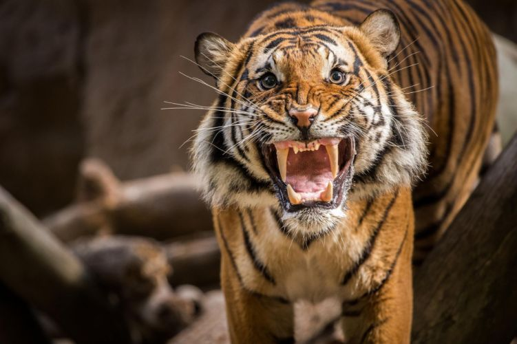 tiger growl teeth wallpaper