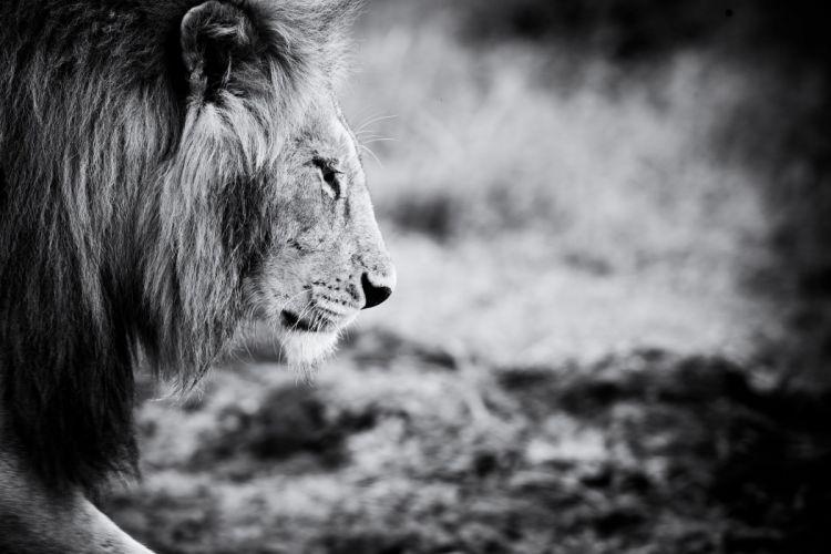 animals black and white animal lion wallpaper