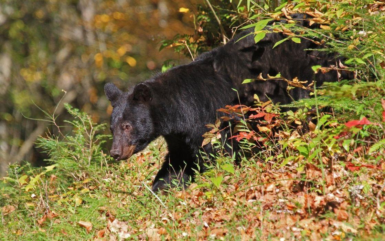 Bears Brown Grass Animals bear   f wallpaper