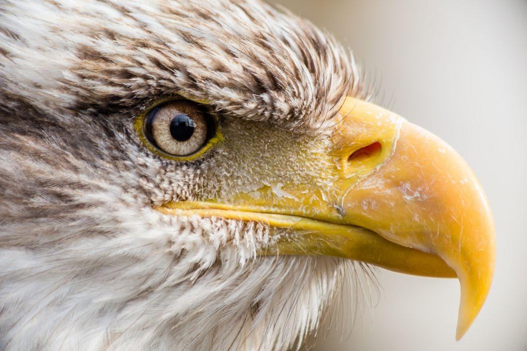 bald eagle bird predator profile beak wallpaper