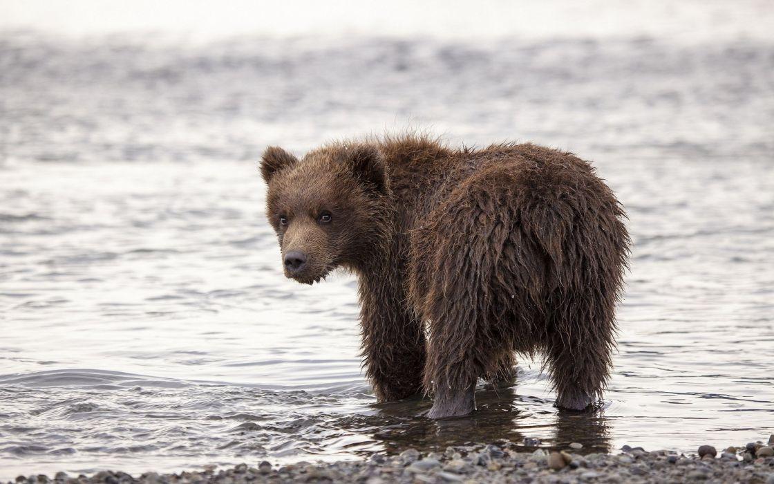 Bears Brown Water Wet Animal bear cub baby wallpaper