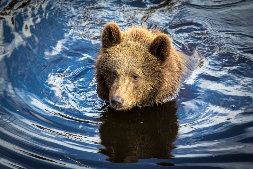 Bears Brown Water Animals bear wallpaper