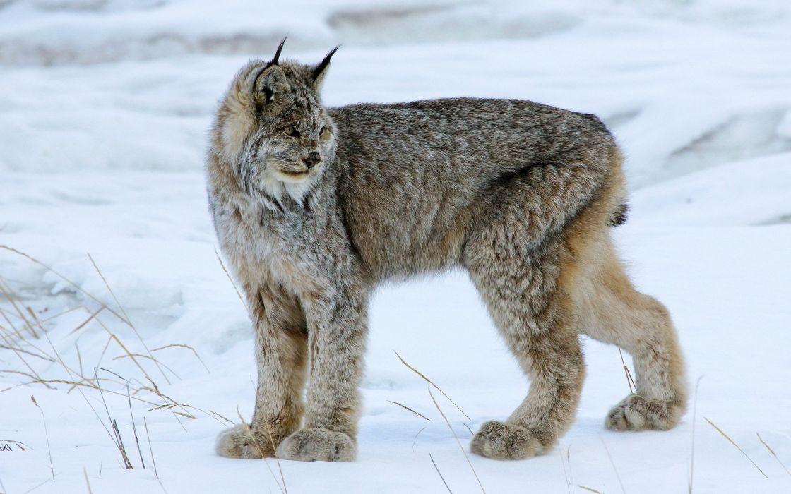 Big cats Snow lynx winter wallpaper