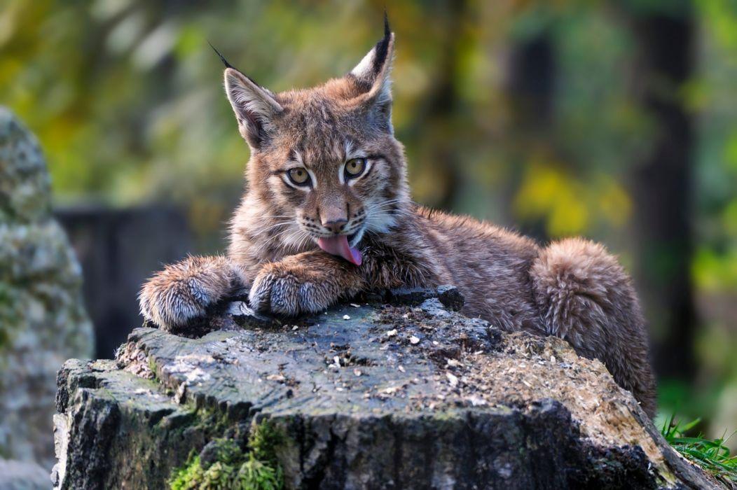 Big cats Lynx Cubs Animals wallpaper