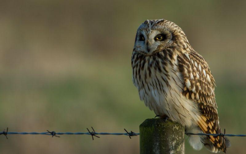 Birds Owls Animals owl wallpaper