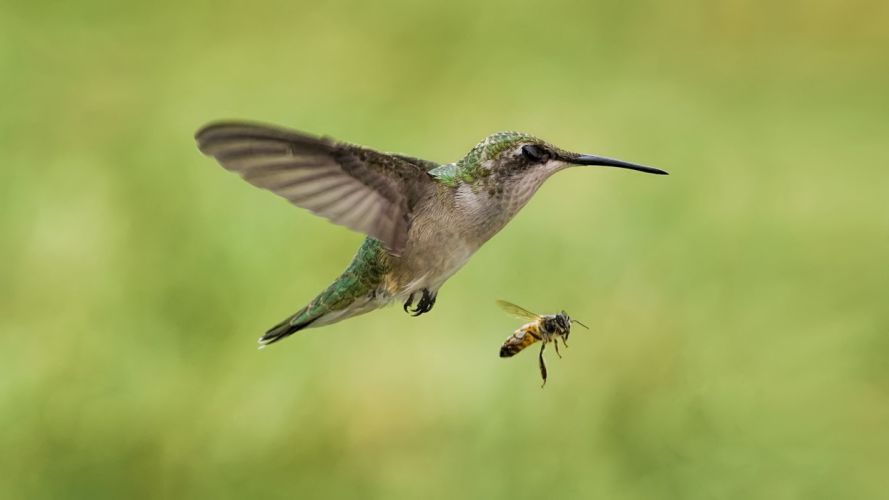 bird the bee hummingbird insect wallpaper